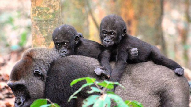 Imagem mostra gorila adulto carregando dois filhotes nas costas
