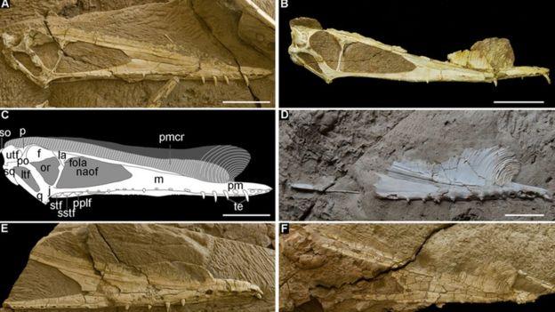 Diversos crânios do pterossauro Hamipterus tianshanensis na China