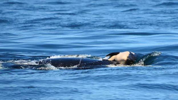 Baleia carregando filhote morto