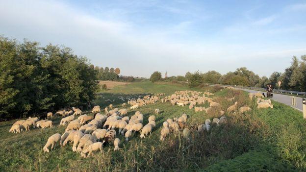 Ovelhas em pasto durante dia ensolarado