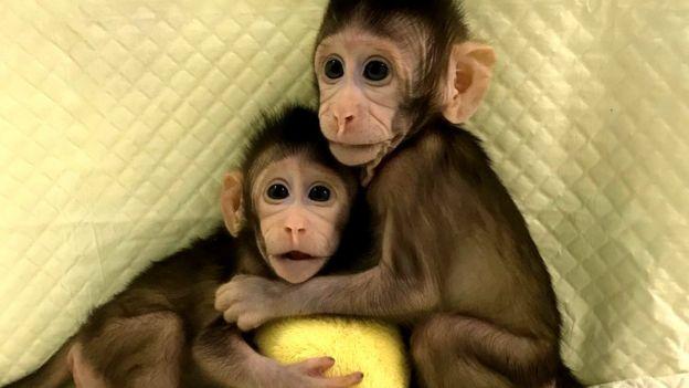 Zhong Zhong y Hua Hua, macacos clonados Foto: Academia de Ciencias de China