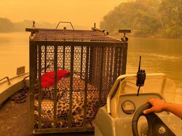 Onça-pintada carregada em barco