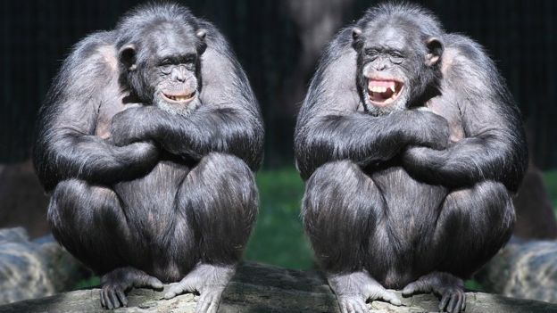 Two smiling chimpanzees sitting on a tree with arms crossed