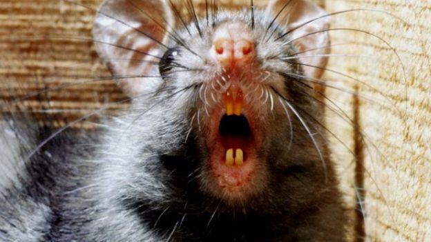 Rato preto da espécie Rattus rattus
