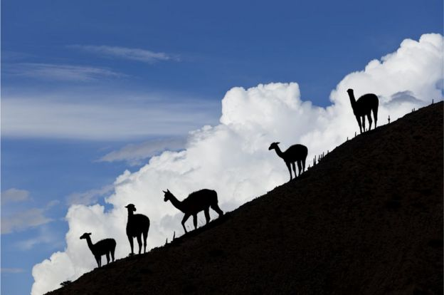 Llamas en la Quebrada de Hamahuaca.
