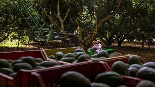 Cosecha de aguacate en Michoacán