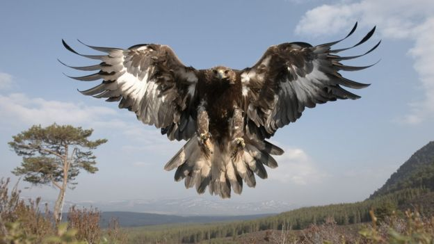 Golden eagle with wings spread