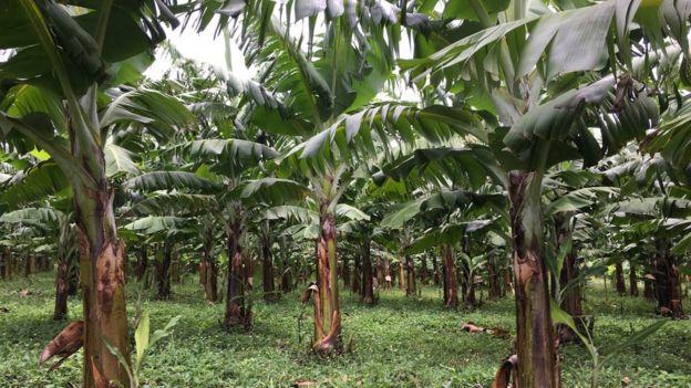 Árvores de banana formosana