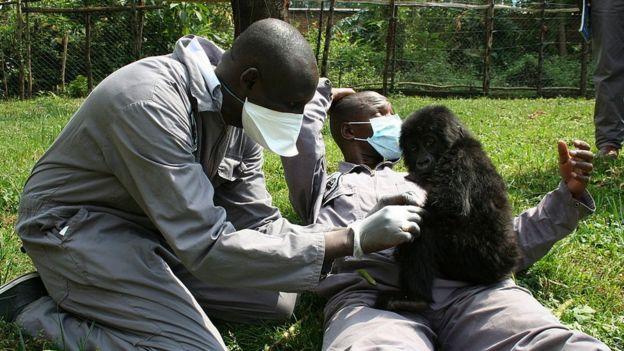 Gorila bebé con dos cuidadores