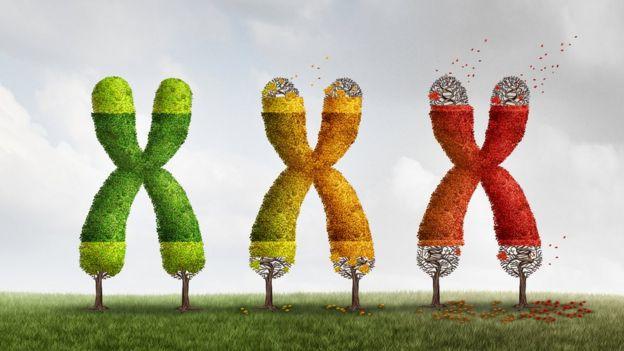 Хромосомы теряют теломеры