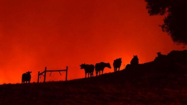 Cows stand on a hill as the Kincade Fire approaches on Thursday in Geyserville, Califonria