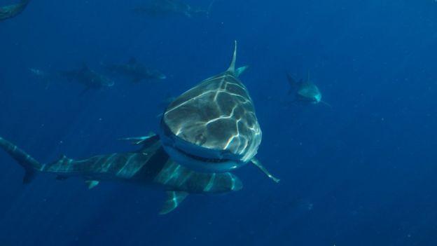 [Image: _100388496_shark2.jpg]