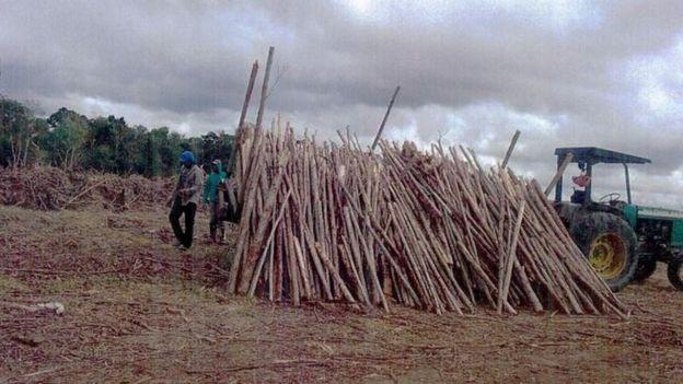 árvores sendo cortadas