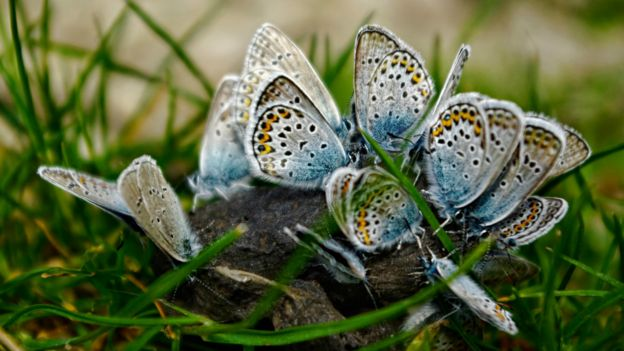 Dışkıyla beslenen kelebekler