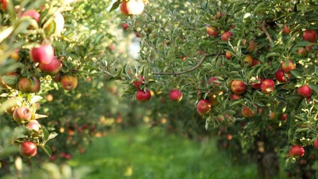 elma ağacı