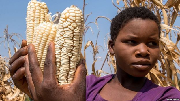 zimbabwean girl, Vimbiso Chidamba, inspects some of the few remaining maize cobs amid drought
