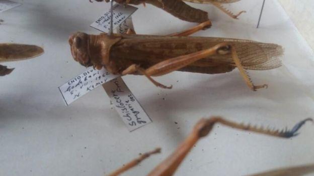 नार्कको कीटविज्ञान शाखास्थित सङ्ग्रहालयमा राखिएको झण्डै ६ दशक पहिले काठमाण्डूमा भेटिएको सलह।