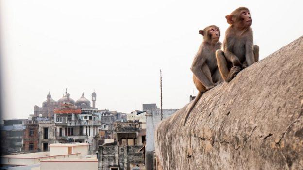 Macacos urbanos na Índia