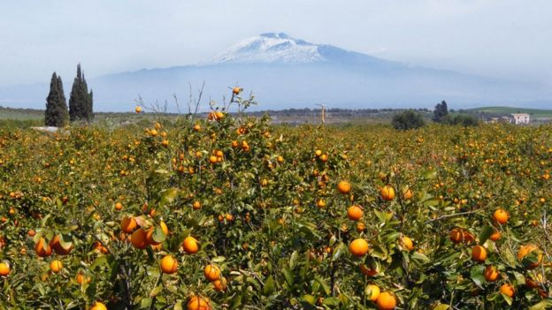 Oranges growing with Mount Etna in the background