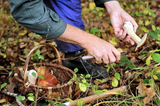 A man picks a cep (Boletus edulis) during a mushroom picking, on 20 October 2012 in the Clairmarais' wood, northern France