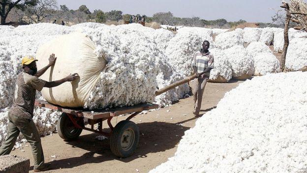 Récolte de coton au Burkina Faso