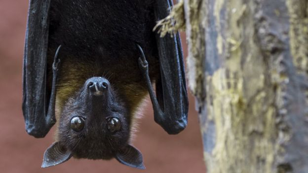 A bat hanging upside down
