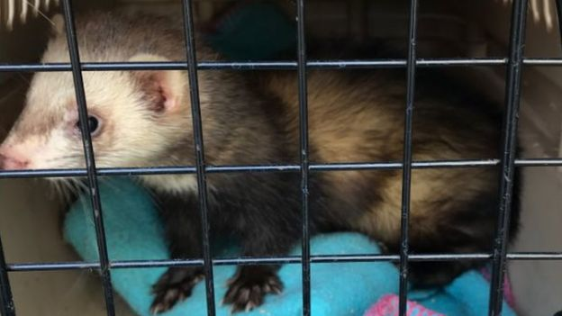 Ferret freed from Bishop Auckland pipe by firefighters - BBC