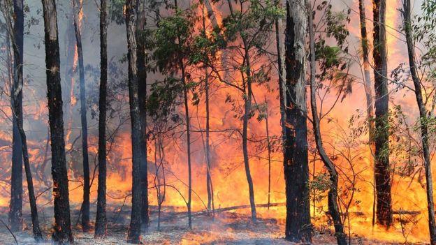Um bosque de eucaliptos em chamas na Austrália