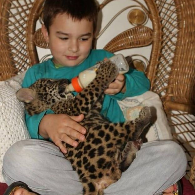 Tiago alimenta a un cachorro de jaguar con un biberón.