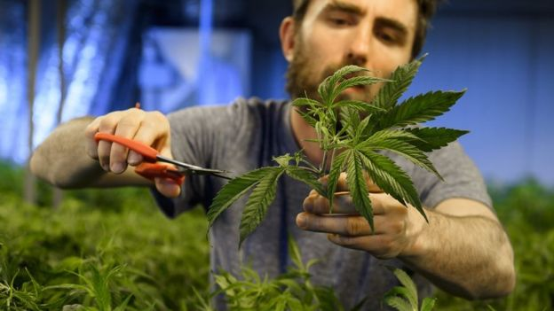 (图为合法大麻种植资料照片)。