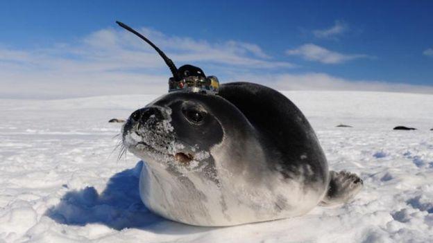 Sensor en un elefante marino
