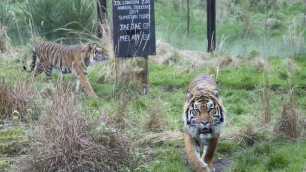 c8d1050b3 عاصم نمر سومطرة النادر يقتل شريكته في حديقة حيوان لندن في أول لقاء ...