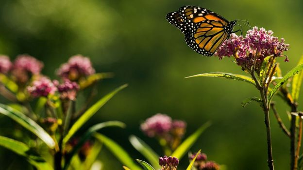 mariposa entre flores del algodoncillo