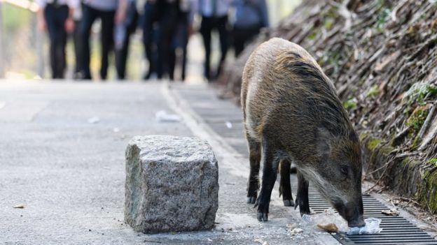香港仔郊野公园内一头野猪在吃游客丢在地上的面包(25/1/2019)