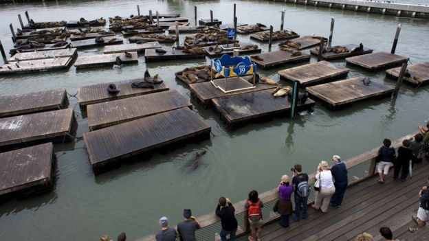 Tourists are photographed looking at dozens of sea lions lying on the dock