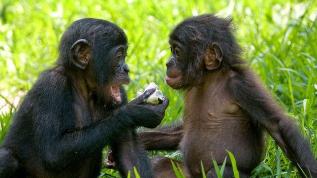 Bonobos bebé