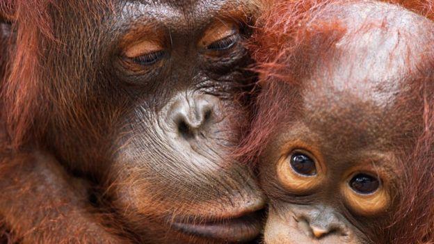 Борнейские орангутаны