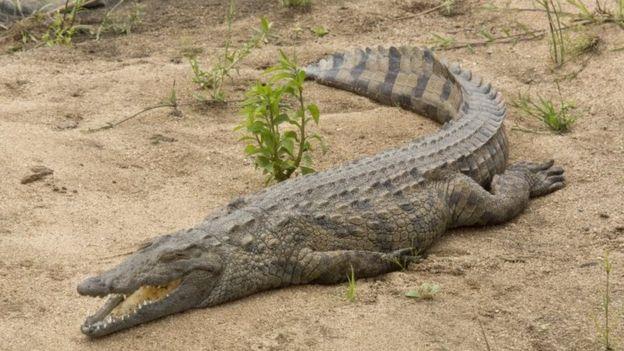 Nile crocodile (23 September 2016)