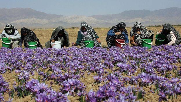 Iranian women harvest crocuses in 2006