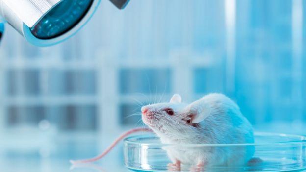 Rato de laboratório