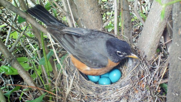 Mirlo americano en su nido en el que hay varios huevos azules