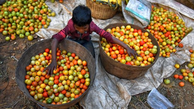 Boy sorting tomato crop