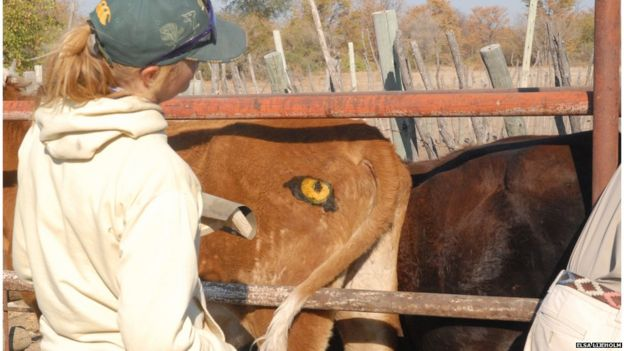 Painting eyes on cows to prevent lion attacks - BBC News