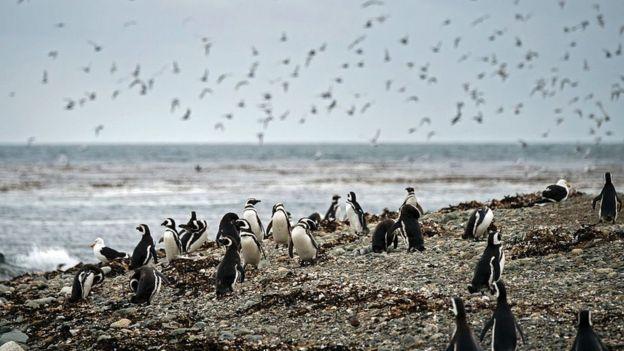 Pingüinos en isla Magdalena