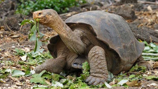 Tortuga gigante de Ecuador