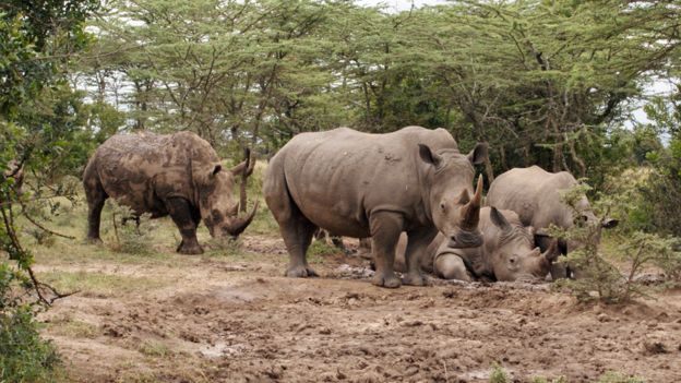 A female southern white rhinos at Ol Pejeta Conservancy in central Kenya