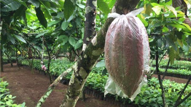 filipino farmer strikes gold with cocoa bbc news