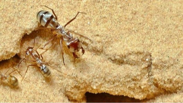 муравей-бегунок