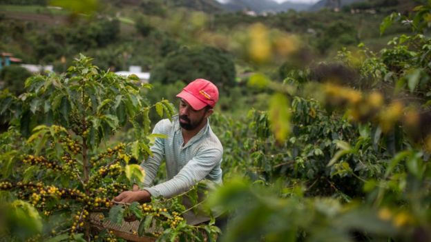 A Brazilian coffee farmer