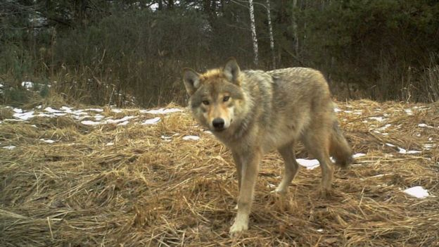 Wolf in the Chernobyl exclusion zone